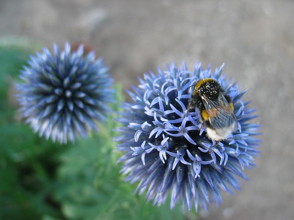 Blaudistel, Hummel, Flower, Shrub, Summer, Insect