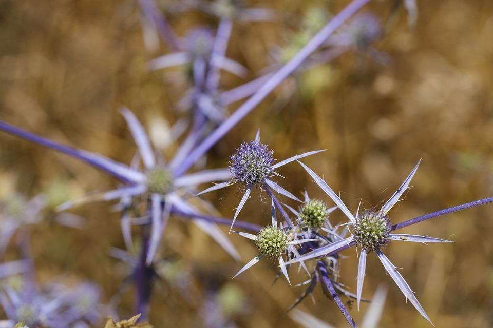 Thistle, Blue Thistle, Blaudistel, Asteraceae Weeds