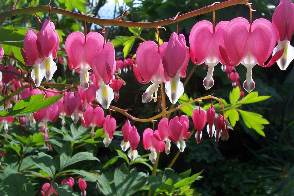 Dicentra Spectabilis, Bleeding Heart, Flowers, Blossom