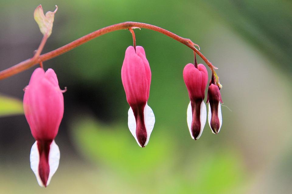 Bleeding Heart, Flowers, Flower