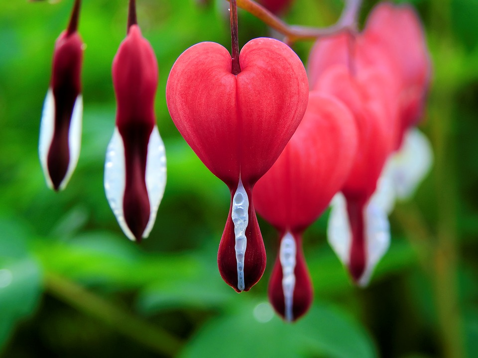 Bleeding Heart, Flowers, Plant, Red Flowers, Bloom
