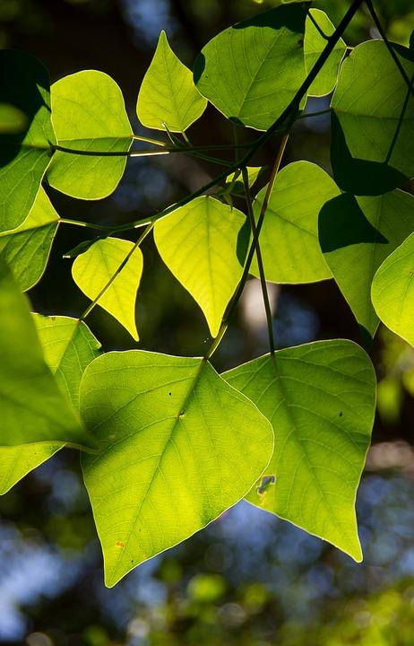 Bleeding Heart Tree, Homalanthus Populifolius, Tree
