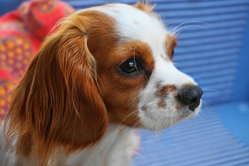 Dog, Cute, Animal, Mammal, Pet, Face, Blenheim, Pretty