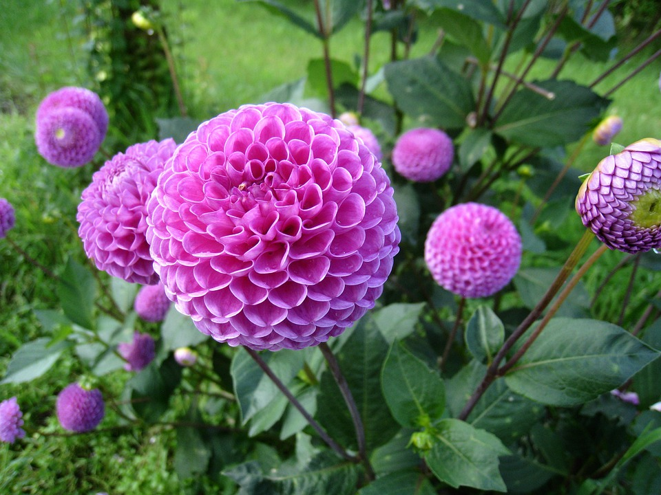 Dahlia, Purple, Blommmor, Plant, Green, Leaf, Summer