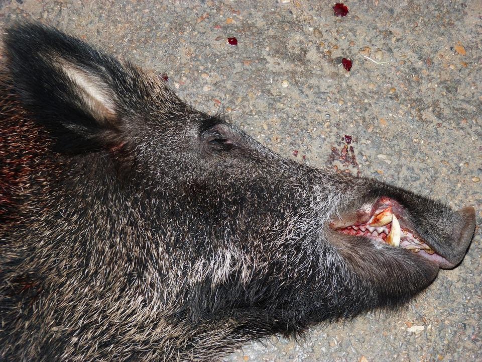 Wild Pig, Head, Hunting, Blood, Corpse