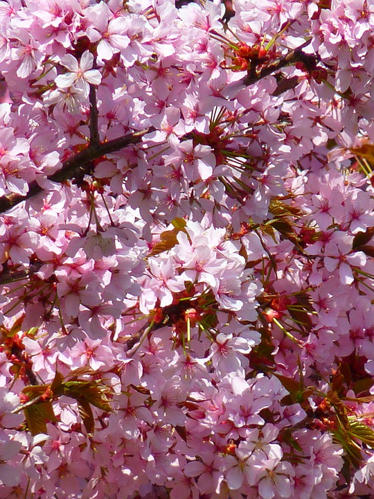Blood Plum, Prunus Cerasifera, Blossom, Bloom, Pink