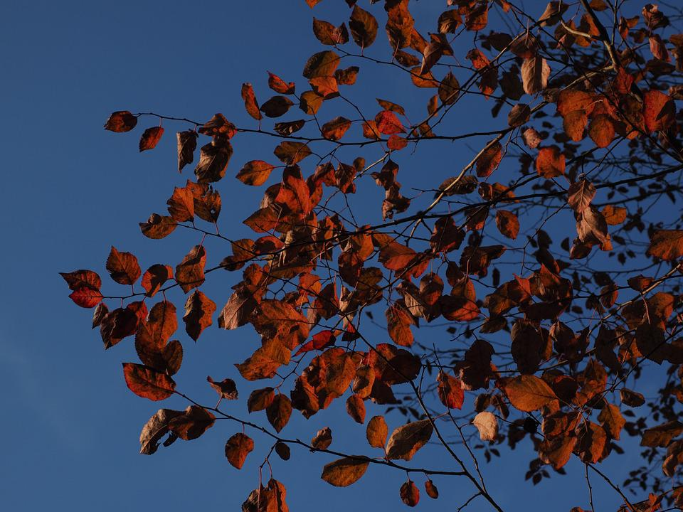 Leaves, Red, Autumn, Coloring, Blood Plum, Red Leaf
