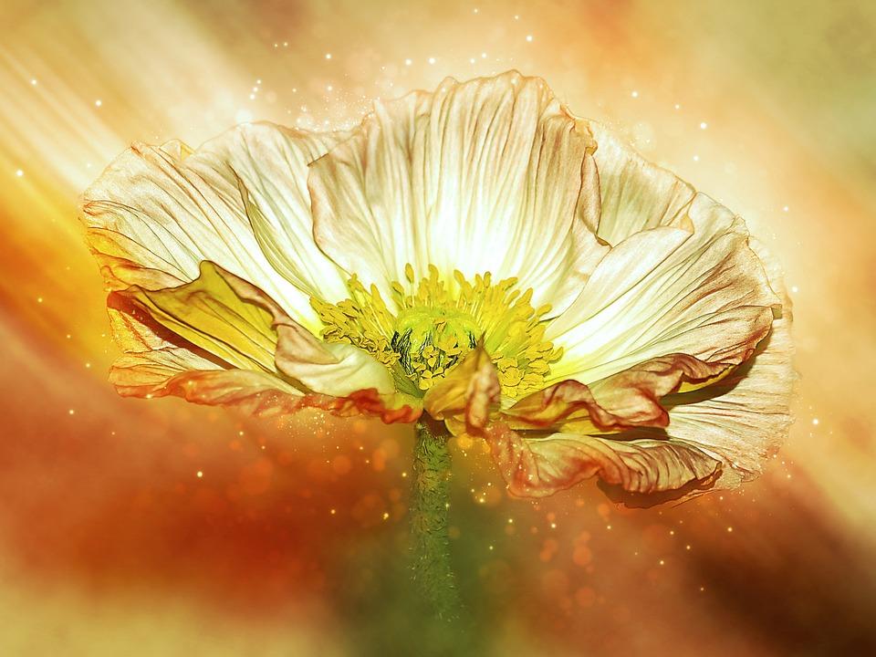 Anemone, Blossom, Bloom, Crown Anemone