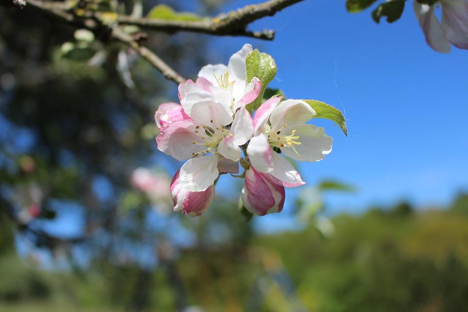 Apple Blossom, Apple Tree, Blossom, Bloom