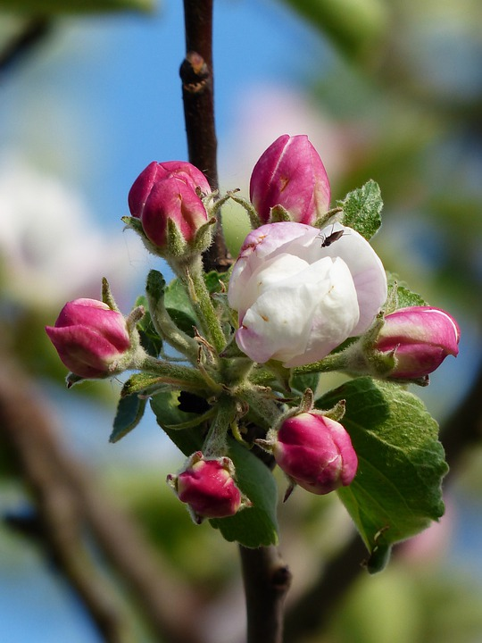 Apple Blossom, Apple Tree, Blossom, Bloom, White, Pink