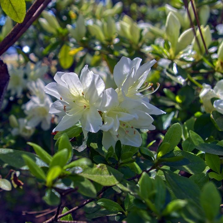 April's White Azalea, Blossoms, Azalea, Bloom, Spring