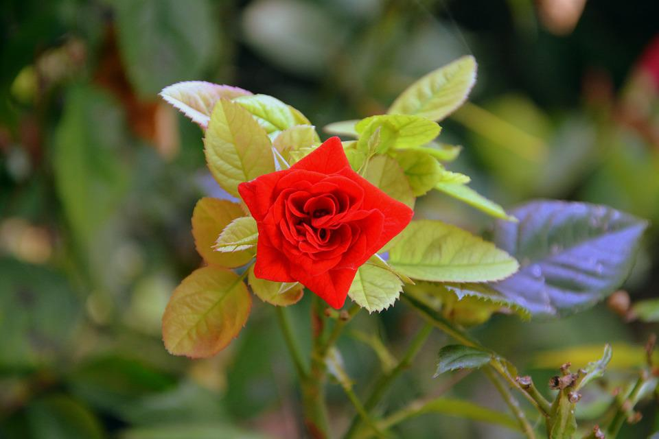 Rosa, Flower, Nature, Beauty, Plants, Leaves, Bloom