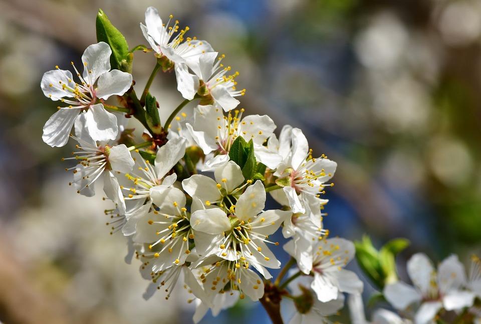 Plum Blossom, Blossom, Bloom, Plum Tree, Bloom