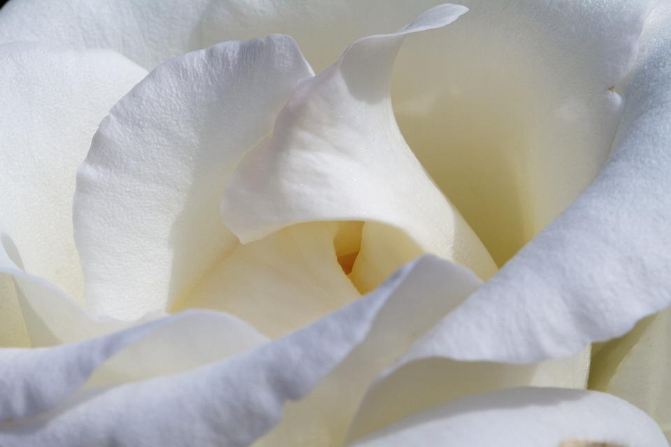 Rose, White, Blossom, Bloom, Nature, Bloom, Beauty