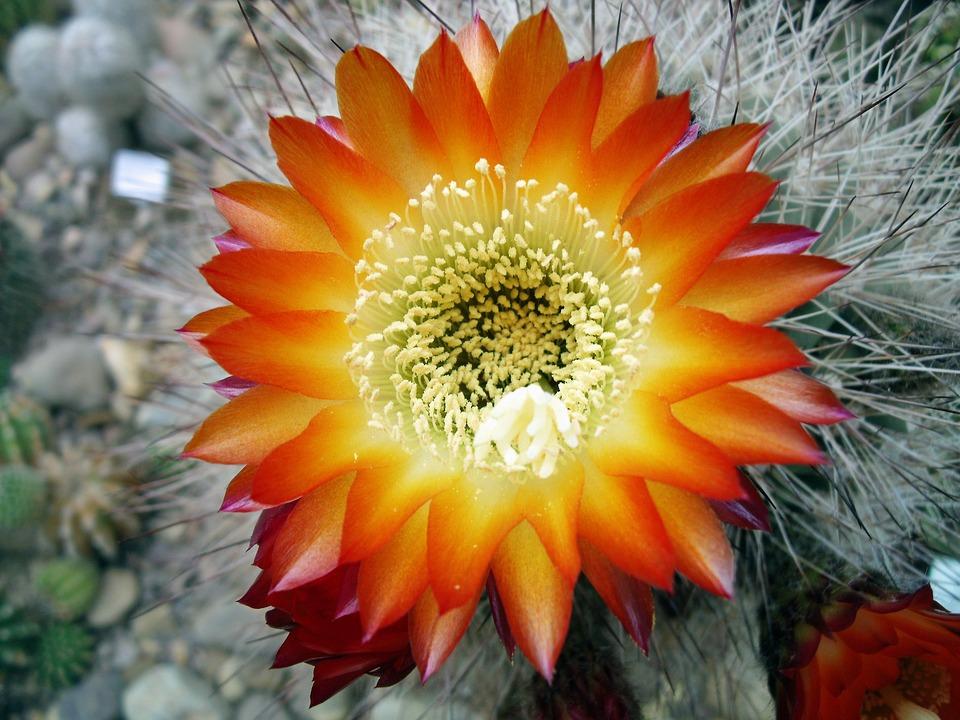 Cactus, Flower, Blooming Cactus, Cacti, Bloom, Prickly