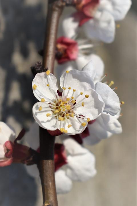 Blossom, Bloom, Apricot Blossom, Apricots, Flower