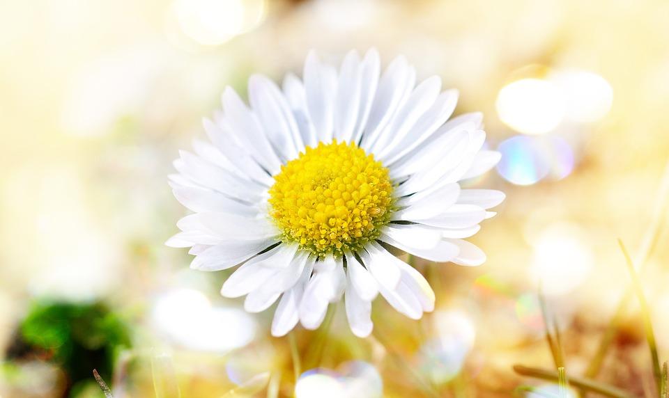 Daisy, Flower, Blossom, Bloom, White, Nature, Bokeh