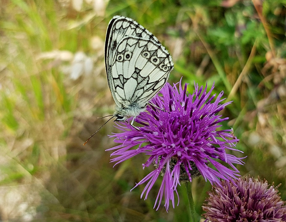 Butterfly, Checkered Butterfly, Insect, Blossom, Bloom
