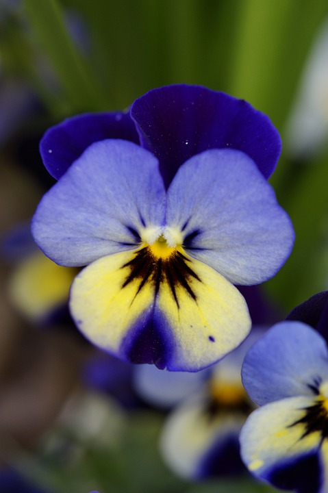 Pansy, Flower, Blossom, Bloom, Bloom, Close, Spring