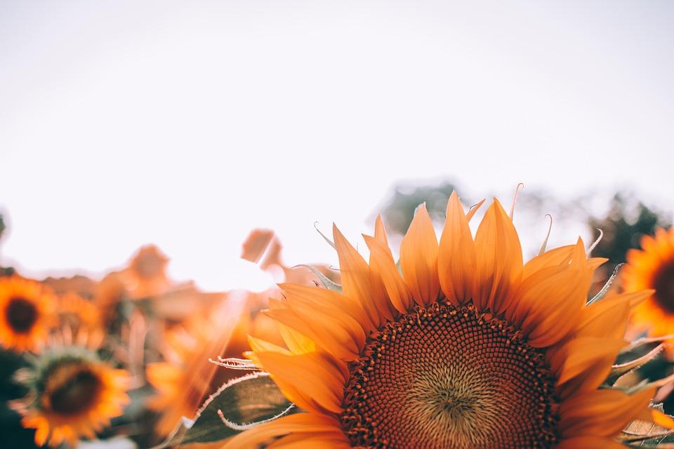 Bloom, Sunflower, Blossom, Close-up, Field, Flora