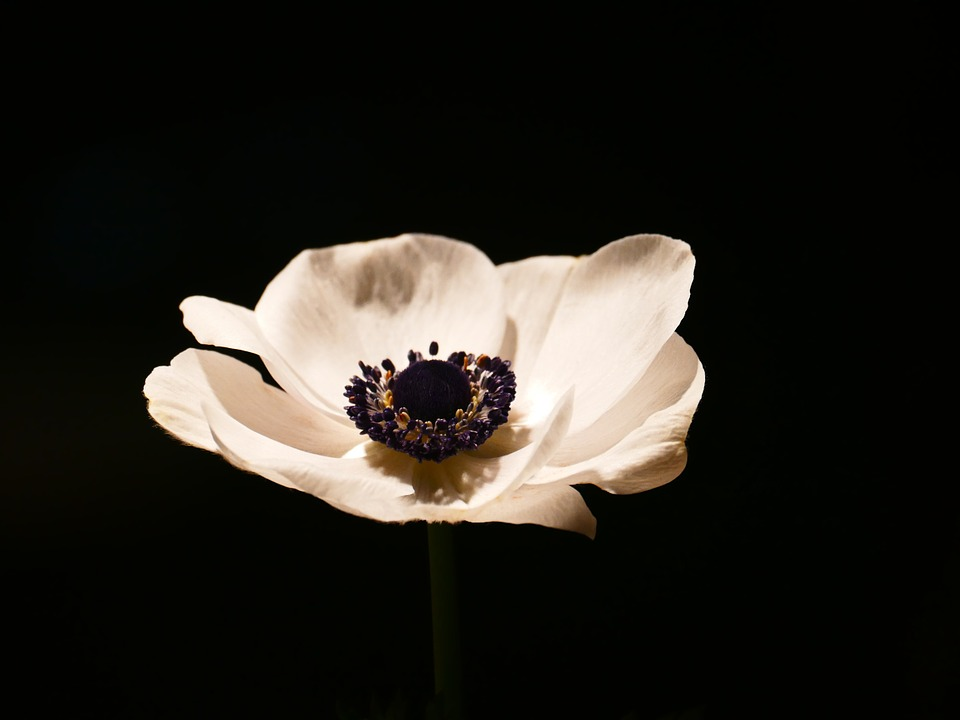 Anemone, Blossom, Bloom, Crown Anemone, White, Bloom