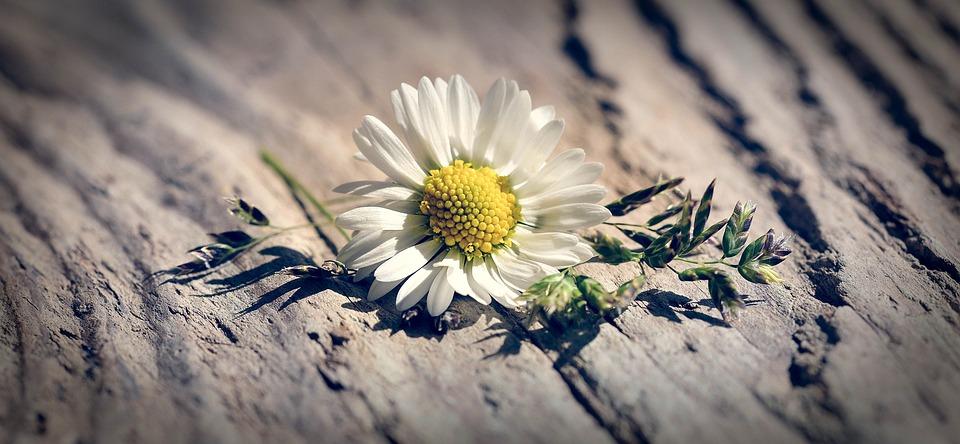 Flower, Grasses, Daisy, Pointed Flower, Blossom, Bloom