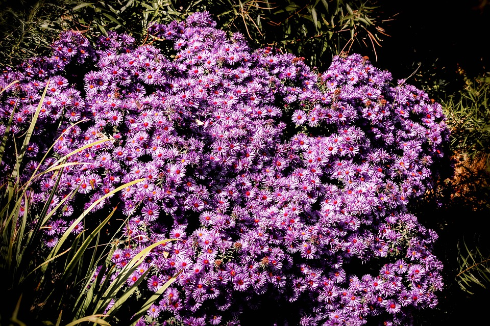 Purple Button Chrysanthemums, Flower, Blossom, Bloom
