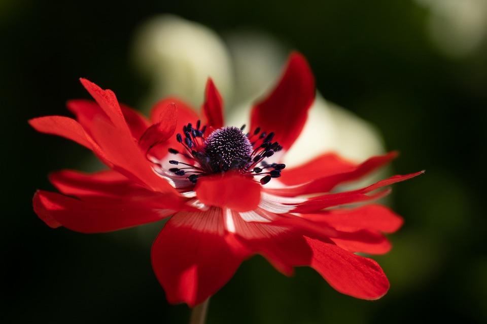 Anemone, Flower, Red Flower, Blossom, Bloom, Petals