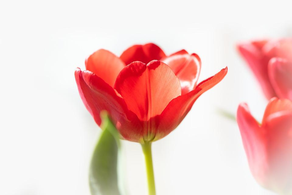 Tulip, Flower, Red, Blossom, Bloom, Red Tulip