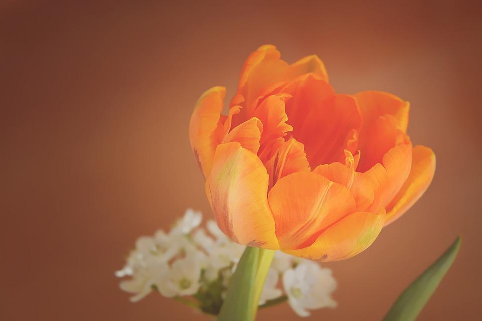 Tulip, Flower, Blossom, Bloom, Orange, Petals