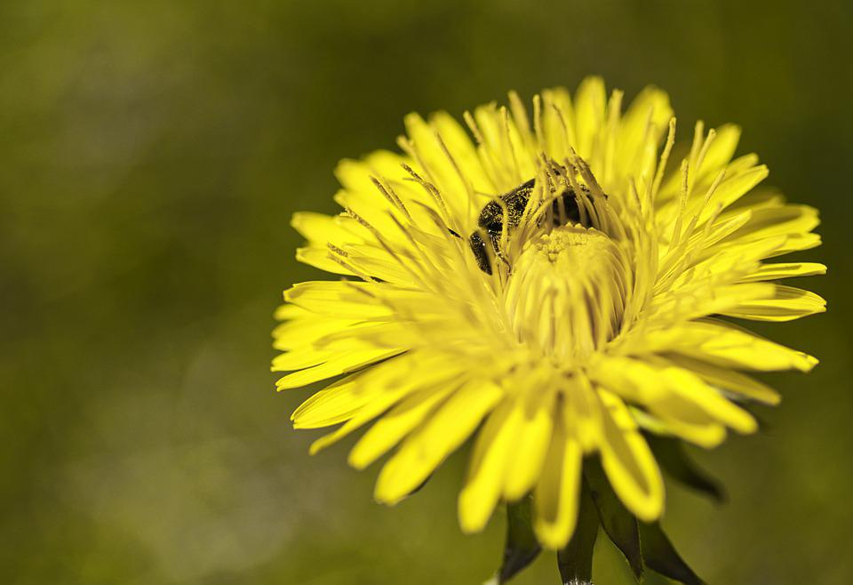 Bee, Flower, Yellow, Insect, Blossom, Bloom, Macro