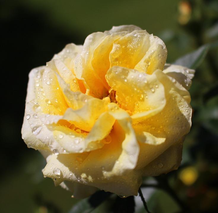 Flower, Blossom, Bloom, Rose, Yellow, White, Beauty