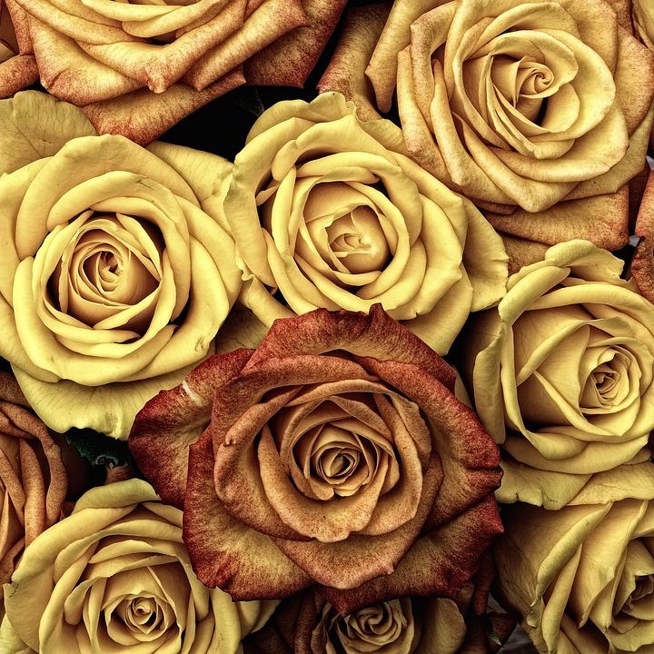 Flowers, Roses, Plant, Bloom, Blossom, Flowering Plant