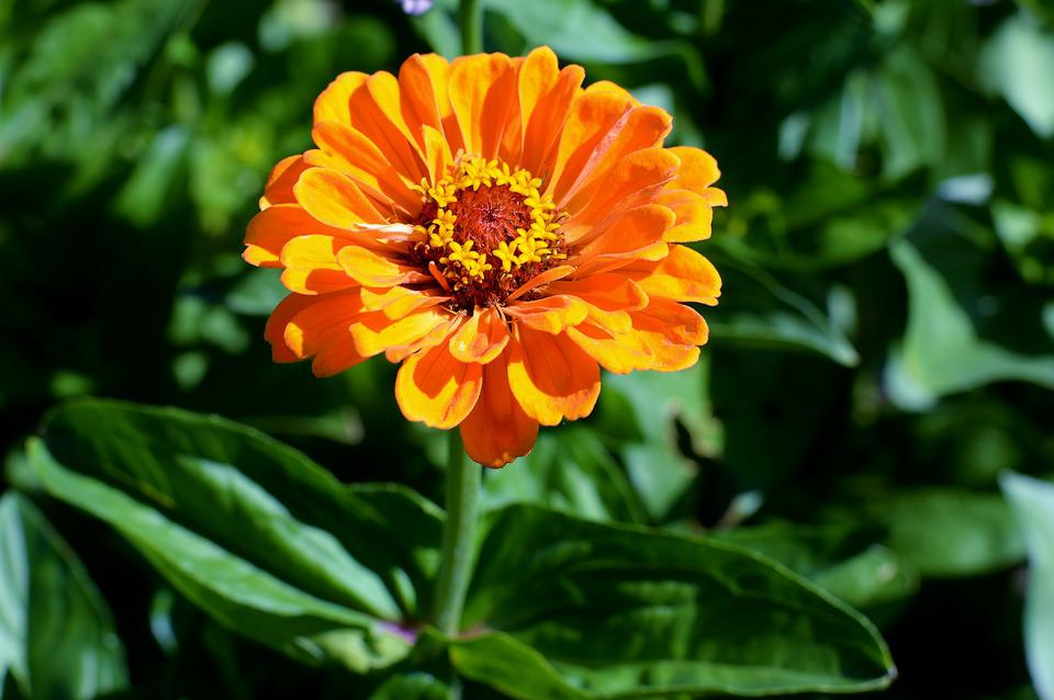 Flower, Zinnia, Garden, Blossom, Bloom, Colorful