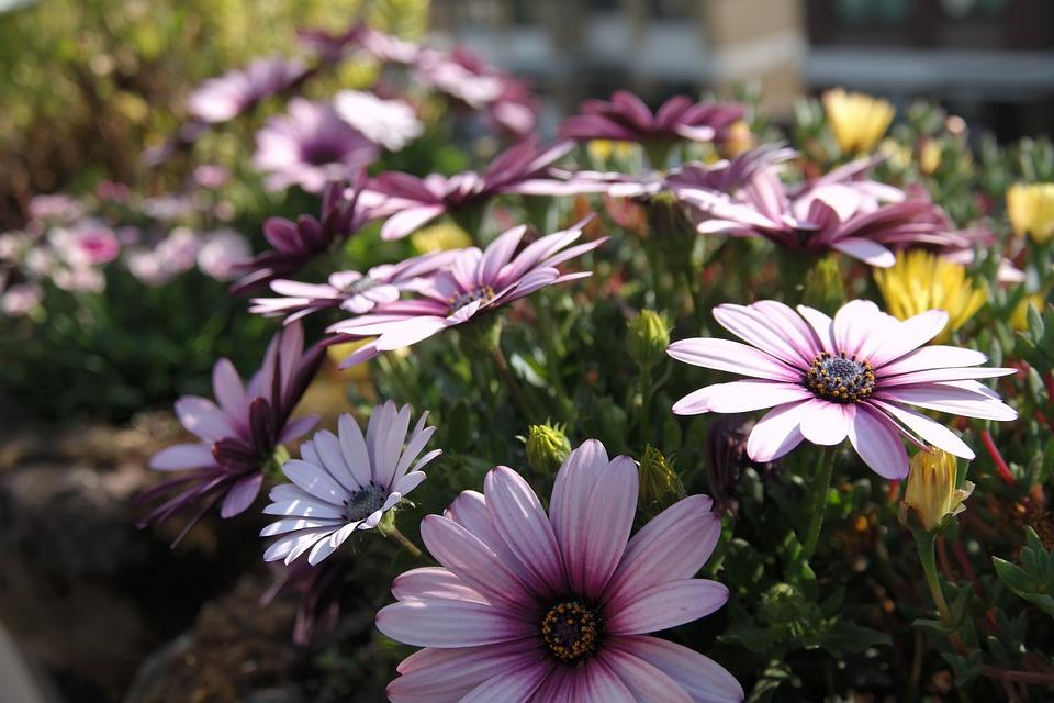 Flower, Blossom, Bloom, Purple, Gerbera, Flower Meadow
