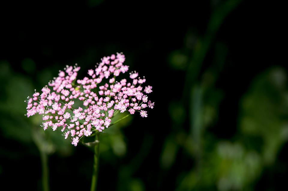 Plant, Grassland Plants, Blossom, Bloom, Pink Flowers