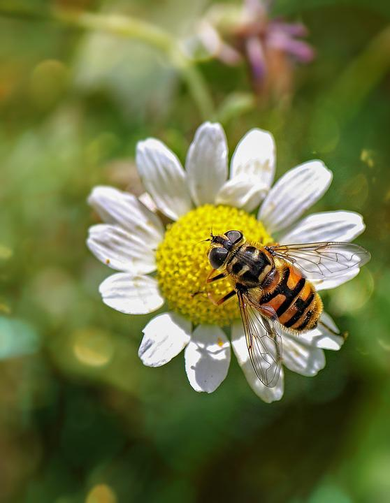 Hoverfly, Insect, Nature, Fly, Flower, Bloom, Blossom