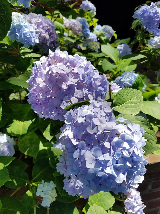 Hydrangea, Blue, Purple, Flowers, Bloom, Blossom