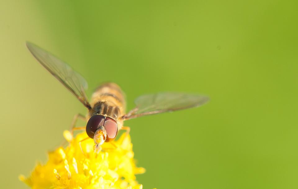 Hoverfly, Insect, Yellow, Nature, Blossom, Bloom