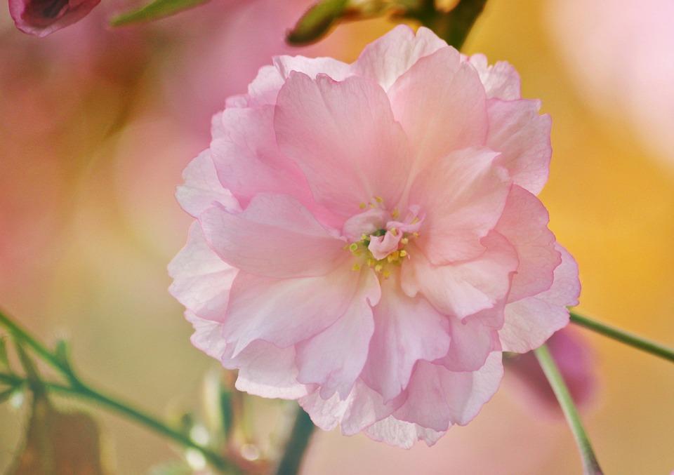 Blossom, Bloom, Cherry Blossom, Japanese Cherry Blossom