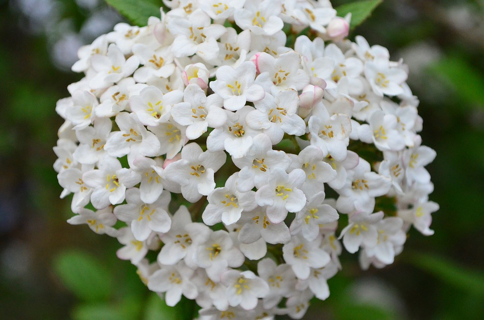 free photo bloom blossom lilac bush lilac white flower max pixel