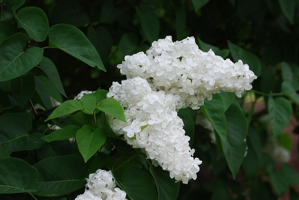 Lilac, Blossom, Spring, Bloom, Syringa Vulgaris, White