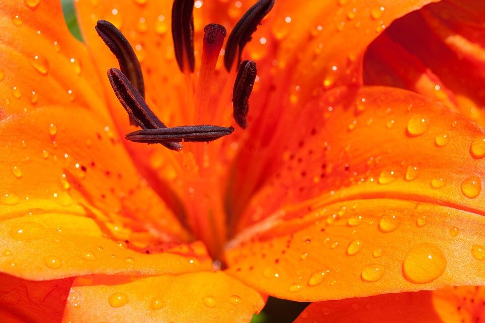 Lily, Flower, Blossom, Bloom, Nature, Flower Stamp