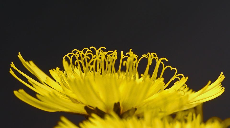Hawkweed, Blossom, Bloom, Macro, Yellow, Medicinal Herb