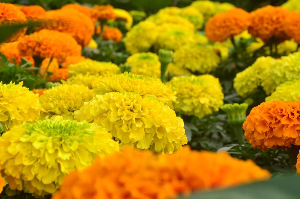 Mexican Marigolds, Flowers, Field, Bloom, Blossom
