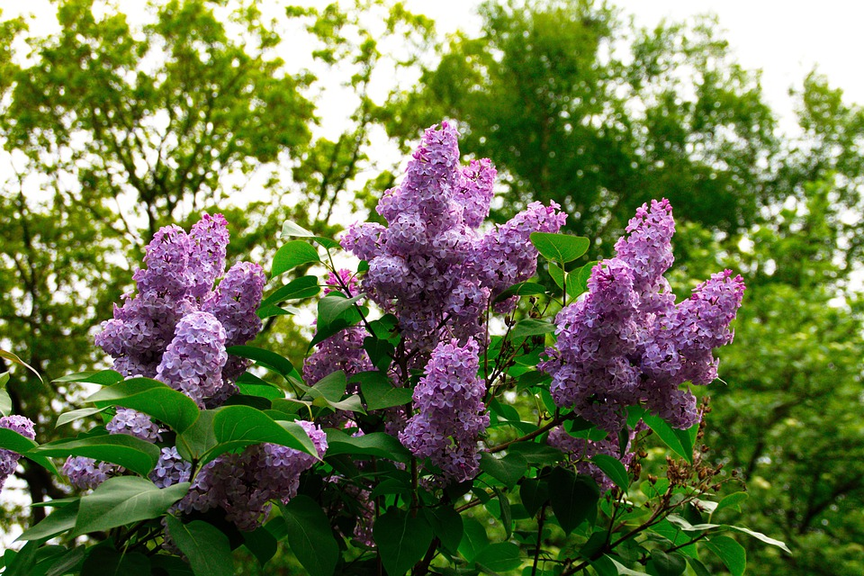 Lilac, Blossom, Bloom, Flower, Bloom, Tree, Nature