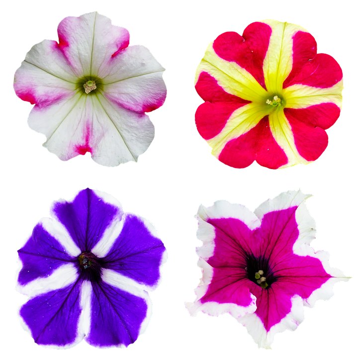 Free Photo Bloom Blossom Nature Color Petunia Flower