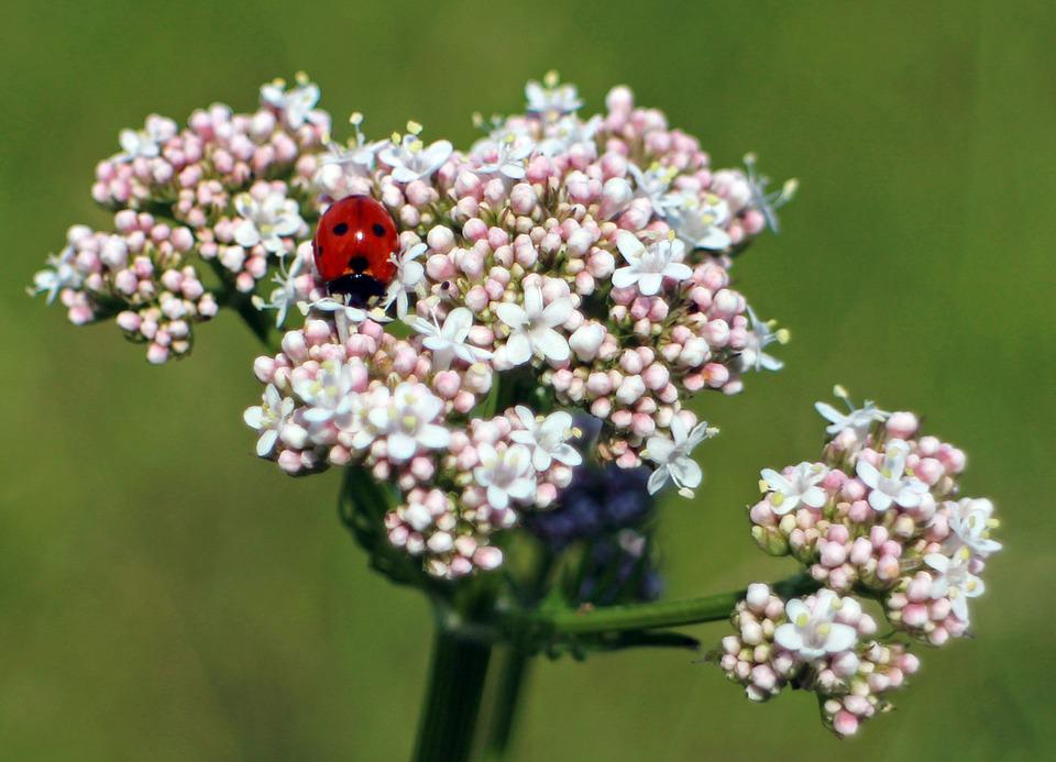 Ladybug, Blossom, Bloom, Beetle, Nature, Flower, Insect