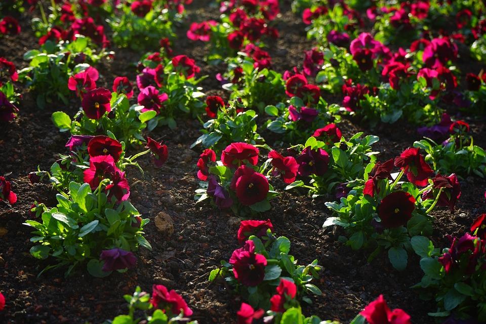 Pansy, Flower, Blossom, Bloom, Red, Purple, Violet