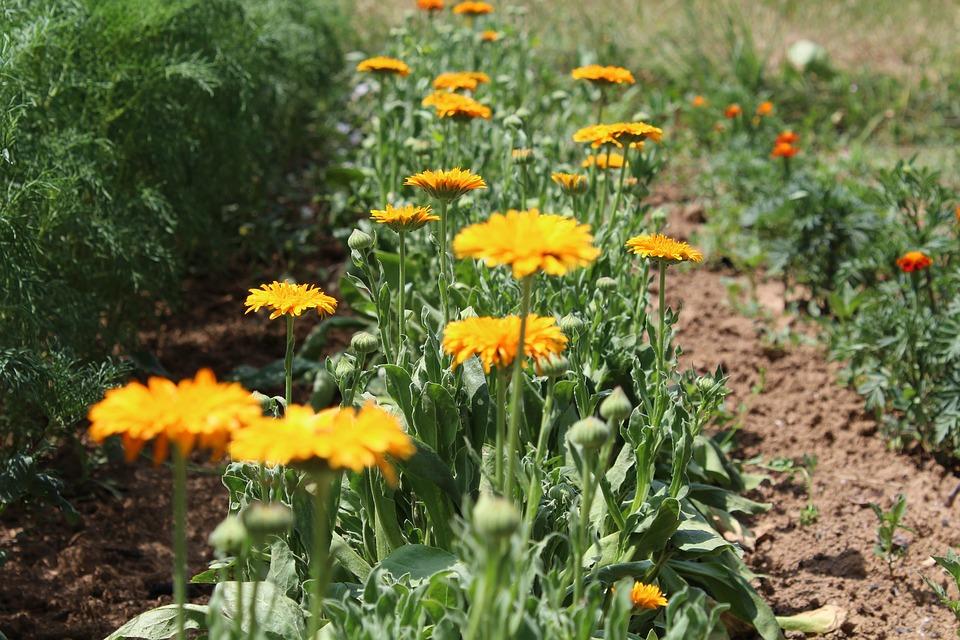 Calendula, Flowers, Petals, Bloom, Plant, Blossom
